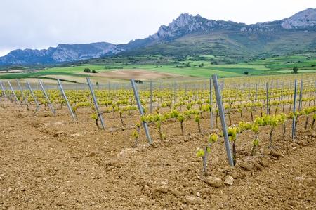basque country: Vineyard at Rioja Alavesa, Basque Country, Spain Stock Photo