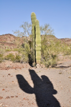 Cactus in Organ Pipe Cactus National Park, Arizona photo