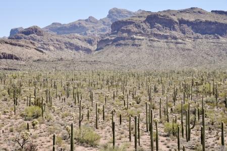 Organ Pipe Cactus National Park, Arizona Banco de Imagens - 22215500