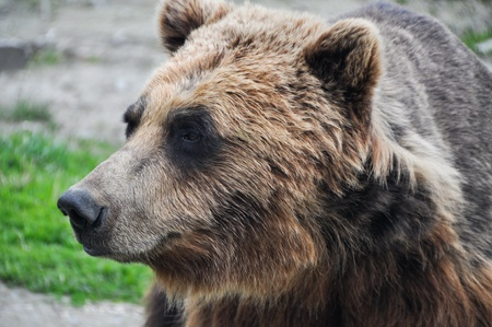 close up   head: Close up head shot of brown grizzly bear