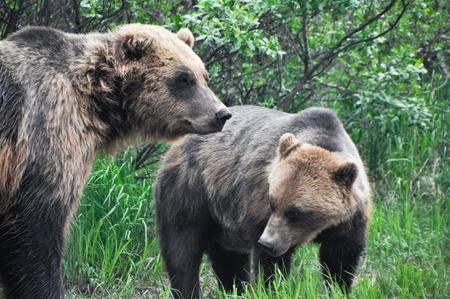 alaskan bear: Grizzly bears, Alaska