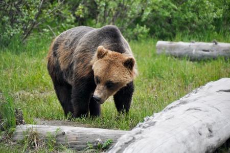 alaskan bear: Grizzly bear, Alaska Stock Photo