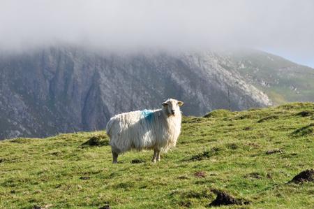 navarre: Sheep at Pyrenees, Navarre, Spain