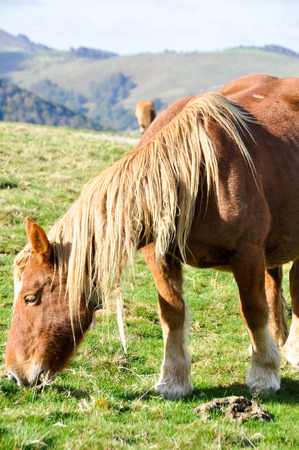 Wild horse in Pyrenees photo