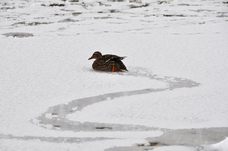 frozen lake: Eend zwemmen in een bevroren meer, Vitoria, Spanje