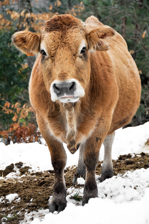 basque country: Cow in a forest, Basque Country, Spain