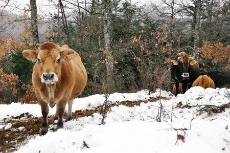 Cows in a forest, Basque Country, Spain photo