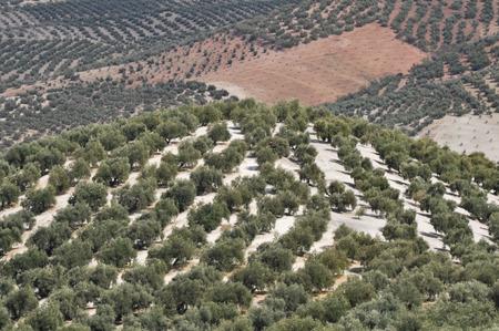 Plantation of olive trees, Cordoba, Spain photo