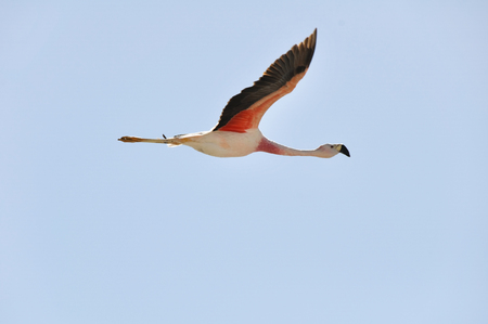 salt flat: Flamingo flying, Salt flat of Atacama, Chile