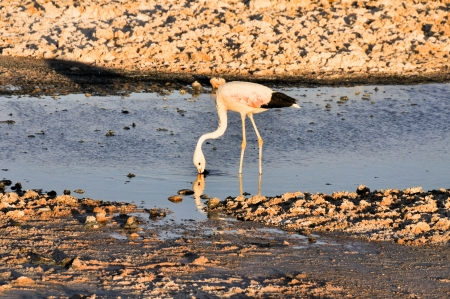 salt flat: Flamingo in the Salt flat of Atacama, Chile Stock Photo