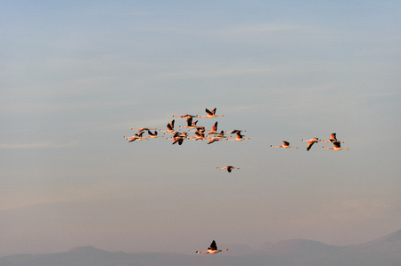 salt flat: Flamingos flying, Salt flat of Atacama, Chile