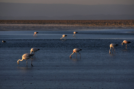 salt flat: Flamingos in the Salt flat of Atacama, Chile Stock Photo