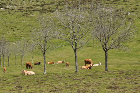 Cows on green meadow, Basque Country photo