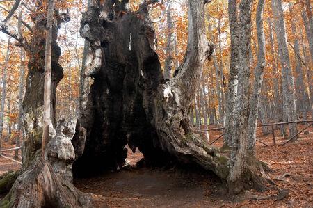 avila: Chestnut trees of El Tiemblo, Avila, Spain Stock Photo