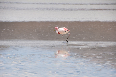 Flamingo in a Salt flat of The Andes photo
