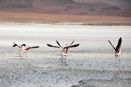 Flamingos in a Salt flat of The Andes photo
