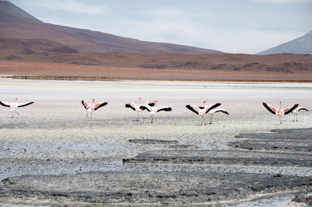 salt flat: Flamingos in a Salt flat of The Andes