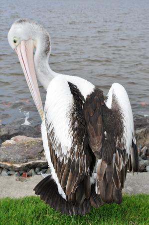 fraser: Pelican in Fraser island, Australia
