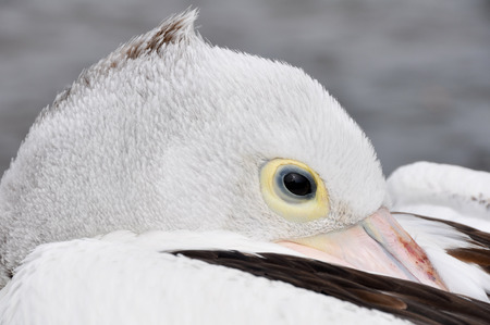 fraser island: Head of a pelican in Fraser island, Australia