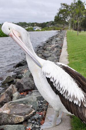 Pelican in Fraser island, Australia photo