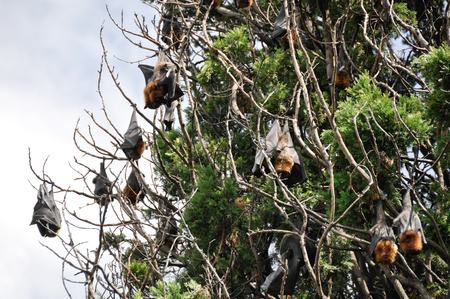 botanical gardens: Flying foxes hang in a tree, Botanical Gardens of Sydney