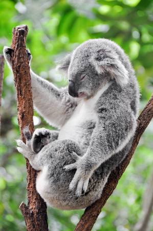 arboreal: Koala having a rest Stock Photo