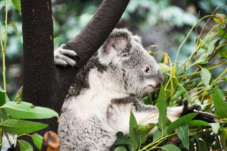 animal limb: Koala eating Stock Photo