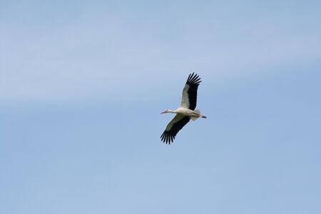 White stork, Salburua park, Vitoria, Spain photo