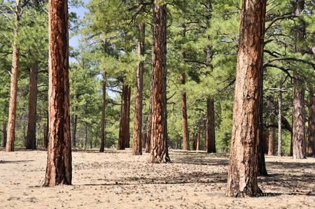 ponderosa: Pine forest, Sunset Crater Volcano National Monument, Arizona  Stock Photo