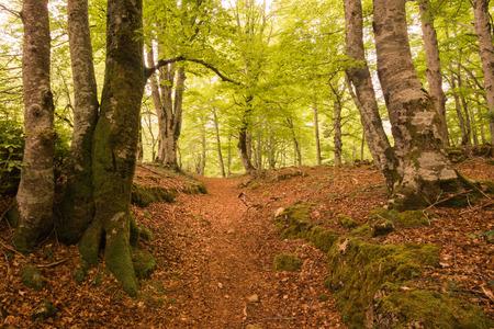 alava: Bosque de hayas, sierra Entzia, �lava, Espa�a