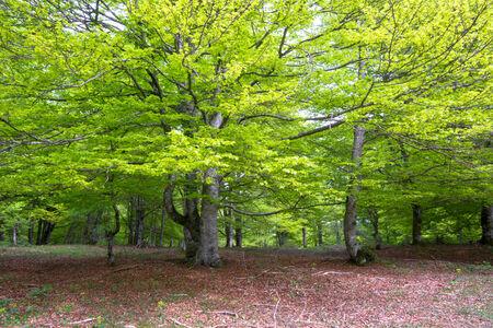 Beech forest, Entzia mountain range, Alava, Spain Stock Photo