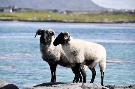 Flock of sheep, Mannin Bay, Ireland photo