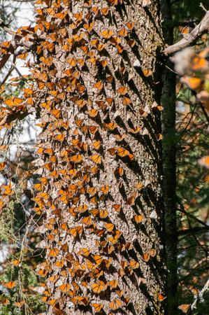 Réserve biosphère du papillon monarque, Michoacan, Mexique Banque d'images - 28390805