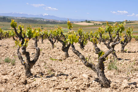 Vineyard at La Rioja, Spain photo