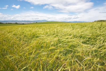 alava: Landscape of barley field in spring