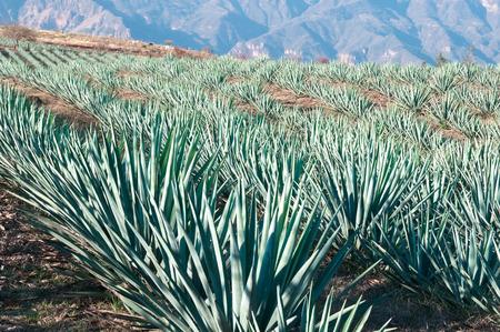 agave: Campos de agave en Tequila, Jalisco, México