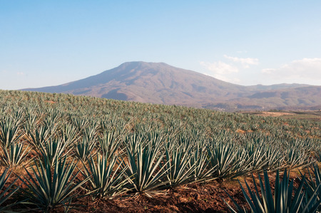 Agave fields in Tequila, Jalisco, Mexico