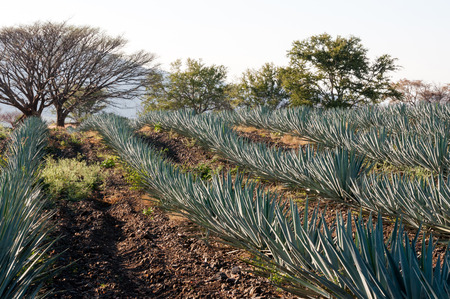 jalisco: Agave fields in Tequila, Jalisco, Mexico