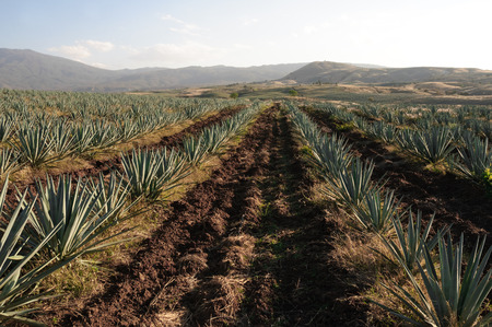 Agave velden in Tequila, Jalisco, Mexico Stockfoto