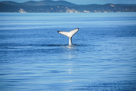 Humpback Whale in Hervey bay, Queensland, Australia Stock Photo - 30811254
