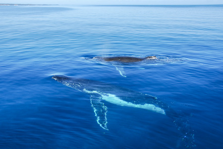 Humpback Whales in Hervey bay, Queensland, Australia Stock Photo