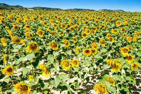 Field of sunflowers, Spain photo