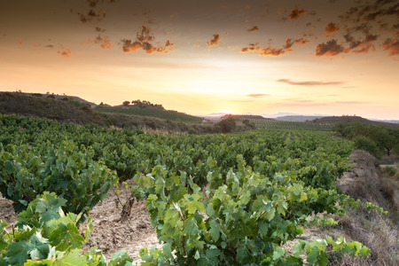 la rioja: Vineyard at La Rioja, Spain Stock Photo
