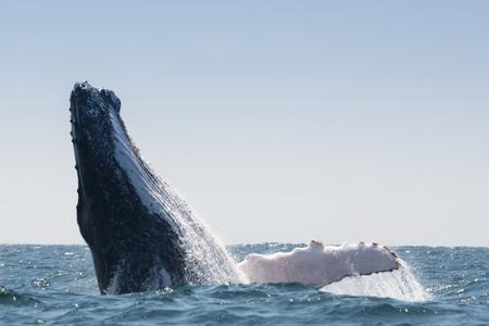 humpback whale: Humpback Whale in Puerto Lopez, Ecuador