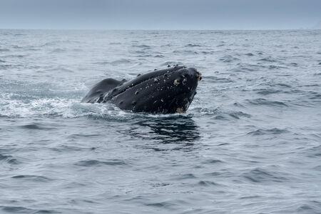 baleen whale: Ballena jorobada en Puerto Lopez, Ecuador Foto de archivo