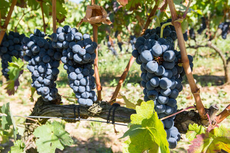 Grapes in a vineyard, La Rioja, Spain photo