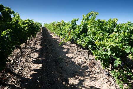 Vineyard, La Rioja, Spain photo