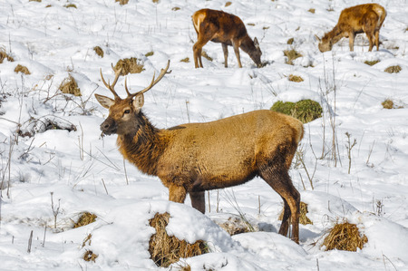snowed: Herd of deer at Salburua park, Vitoria, Spain Stock Photo