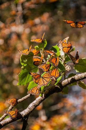 ocampo: Monarch Butterfly Biosphere Reserve, Michoacan, Mexico