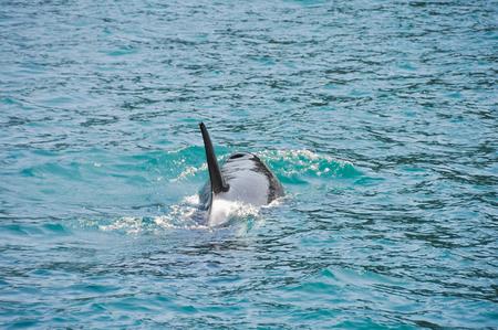 sail fin: Orca Whale in Resurrection Bay, Alaska Kenai Fjord National park